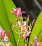Plumeria Frangipani Flowering Plant. Plumeria Frangipani is a genus of flowering plants in the dogbane family, Apocynaceae. Most species are deciduous shrubs or stock image