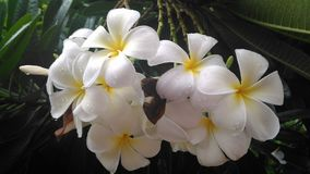 Plumeria. Frangipani,Plumeria is a genus of flowering plants in the dogbane family, Apocynaceae. Most species are deciduous shrubs or small trees.Wikipedia royalty free stock photo
