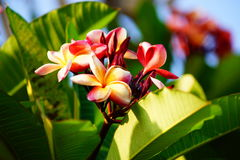 Plumeria or Frangipani. Plumeria is a genus of flowering plants in the dogbane family, Apocynaceae. Most species are deciduous shrubs or small trees Royalty Free Stock Photos