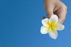 Plumeria (frangipani) in hand Stock Image