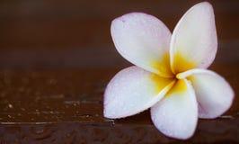 Plumeria (Frangipani) - heilige Blume Lizenzfreie Stockfotos