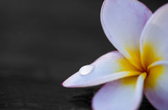 Plumeria (Frangipani) - heilige Blume Stockbild