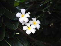 Plumeria frangipani kwitnie białego i żółtego z zielonym liściem Fotografia Royalty Free