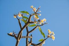 Plumeria, Frangipani, Leelawadee, άνθιση λουλουδιών Lantorm Στοκ Εικόνες