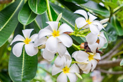 Plumeria, Frangipani, leelawadee, lantorm άνθιση λουλουδιών Στοκ Εικόνες