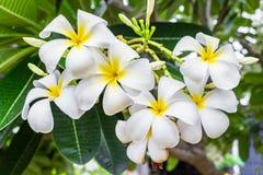 Plumeria, Frangipani, leelawadee, lantorm άνθιση λουλουδιών Στοκ φωτογραφία με δικαίωμα ελεύθερης χρήσης
