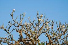 Plumeria, Frangipani, Leelawadee, Lantorm-Blumenblüte Lizenzfreies Stockfoto