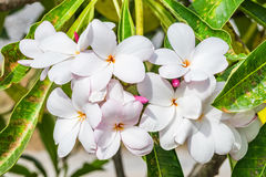 Plumeria, Frangipani, leelawadee, lantorm Blumenblüte Stockfotografie