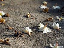 Plumeria Frangipani spadać kłamać na ziemi Obrazy Royalty Free
