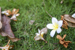 Plumeria, Frangipani, Temple tree And leaves dry on green grass Stock Photography