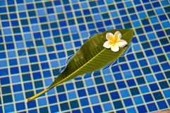 Plumeria frangipani tropical flower on a green leaf floating on a bath Stock Photo