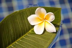 Plumeria frangipani tropical flower on a green leaf Royalty Free Stock Images