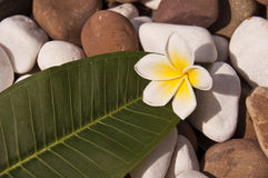 Plumeria frangipani tropical flower and green leaf Royalty Free Stock Image