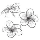 Plumeria frangipani tropical flower icon. Plumeria frangipani tropical flower, sketch style vector Stock Photography