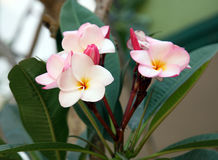 Plumeria Frangipani tropical flower pink and white blooming on t Stock Photo