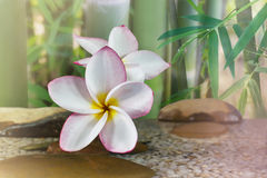 Plumeria or frangipani on water and pebble rock with bamboo tree Royalty Free Stock Photography
