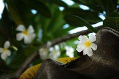 Plumeria or frangipani white flower Royalty Free Stock Image