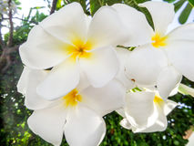 Plumeria, Frangipani white flower Royalty Free Stock Photography