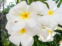 Plumeria, Frangipani white flower Royalty Free Stock Photography