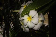 Plumeria frangipani white flowers on black background.  Royalty Free Stock Photos