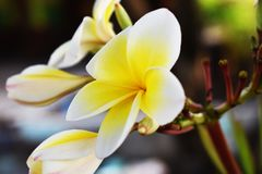 A white and yellow plumeria flower on tree in the garden. royalty free stock photos