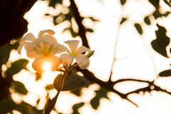 Plumeria frangipani white flowers are exposed to sunlight, orange color changes.  Stock Images