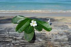 Plumeria ( frangipani) Stock Photo