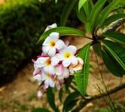 Plumeria frangipaniblommor Royaltyfri Foto