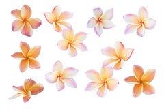 Plumeria Frangipaniblumen lokalisiert auf weißem Hintergrund, PinkFr Lizenzfreie Stockbilder