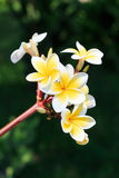 Plumeria or frangipanni blossom Royalty Free Stock Images