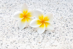 Plumeria or frangipanni blossom. Close up of plumeria or frangipanni blossom Stock Photos