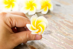 Plumeria or frangipanni blossom in woman's hand. Stock Photography