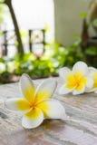 Plumeria or frangipanni blossom. Stock Images
