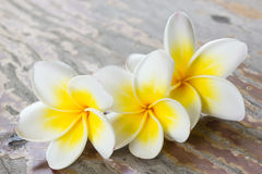 Plumeria or frangipanni blossom on wood background. Stock Photo
