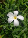 Plumeria fresca Fotografie Stock