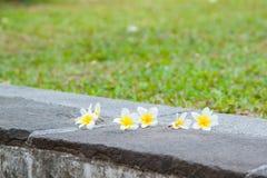 Plumeria in garden background stock photos
