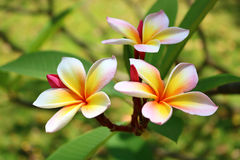 Plumeria in the garden. Detail of Plumeria in the garden Stock Image