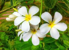 Plumeria in garden. Plumeria flower in garden Royalty Free Stock Images