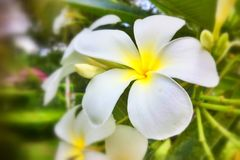 Plumeria in garden Stock Photos