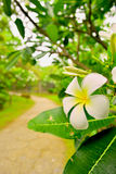Plumeria in the garden Stock Images