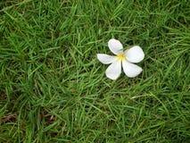 Plumeria on grass. White Plumeria on grass background Royalty Free Stock Image