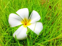 Plumeria on grass. In garden Royalty Free Stock Photo