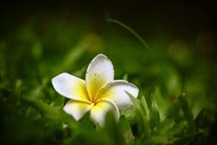 Plumeria on grass Stock Photos