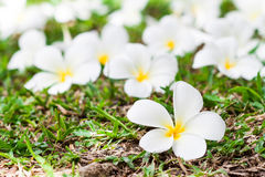 Plumeria on the grass Stock Images