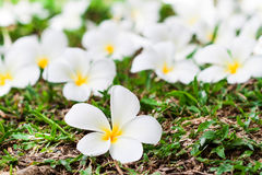 Plumeria on the grass Royalty Free Stock Images