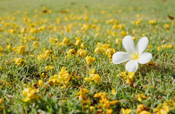 Plumeria on green grass Royalty Free Stock Images