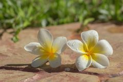 Plumeria on the ground Stock Photography