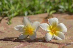 Plumeria on the ground. White Plumeria on the ground Stock Photography