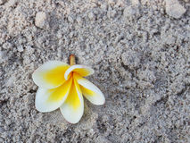 Plumeria group on sand Royalty Free Stock Photography