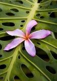 Plumeria H47 cor-de-rosa em Monstera Fotografia de Stock
